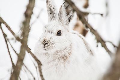 Snowshoe Hare Warren Nelson Memorial Bog Sax-Zim Bog MNIMG_0824
