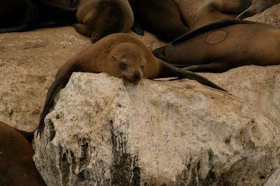 California Sea Lion Monterey Bay CA CA804-256_5611