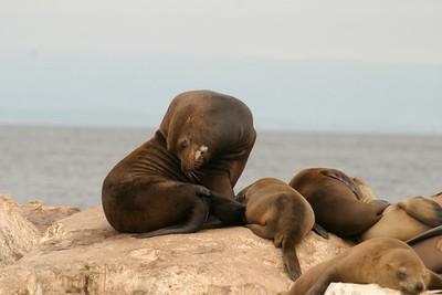 California Sea Lion Monterey Bay CA CA804-256_5609