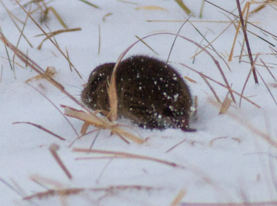 Meadow Vole Crex Meadows Grantsburg WI IMG_5209