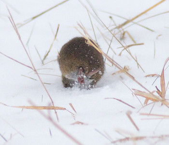 Meadow Vole Crex Meadows Grantsburg WI IMG_5210