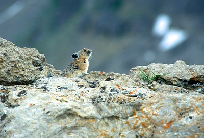 "Pika are called the ""little haymakers' as they gather grasses, drying them in the sun, to store for the winter [July; Rendezvous Mtn, Jackson Hole, Wyoming]"