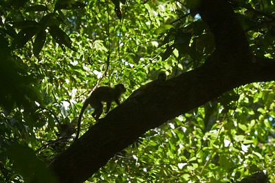 Red-backed Squirrel Monkeys are an endangered primate in the jungles of Costa Rica [March; near Manuel Antonio National Park, Costa Rica]