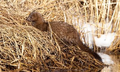 Mink along ditch Stone Lake Road Sax-Zim Bog MN  IMGC5533