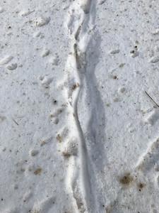 Muskrat tracks in snow Nichols Lake Road Sax-Zim Bog MNIMG_2986