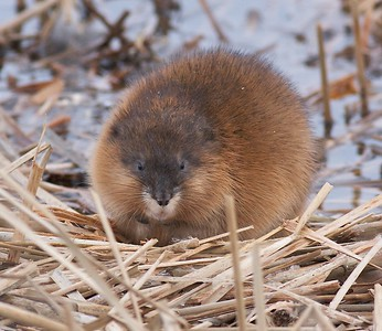 Muskrats are a smaller relative of the Beaver; Both are rodents that spend the winter in lodges and below the ice [March; Sand Lake National Wildlife Refuge, Columbia, South Dakota]