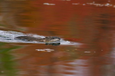 Muskrat swimming through a reflection of autumn leaves [September; Rock Pond UMD Duluth, Minnesota]