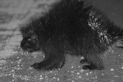 Porcupine at night CR29 Sax-Zim Bog MN DSC03986