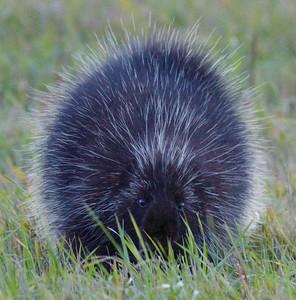 Porcupine nr Watsula Rd Sax-Zim Bog MN IMG_0040