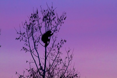 Porcupine silhouette Stone Lake Road Sax-Zim Bog MN IMG_7560