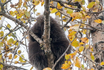 Porcupine in aspen Admiral Road Sax-Zim Bog MN DSC03150