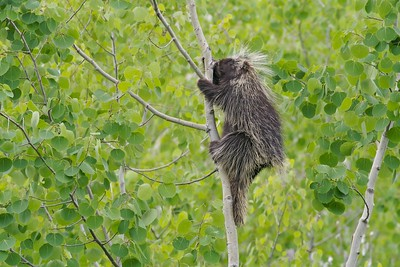 Porcupines cannot throw their quills. But they can raise them and back into their attackers [June; Itasca County, Minnesota]