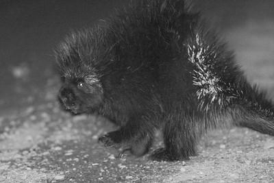 Porcupine at night CR29 Sax-Zim Bog MN DSC03988