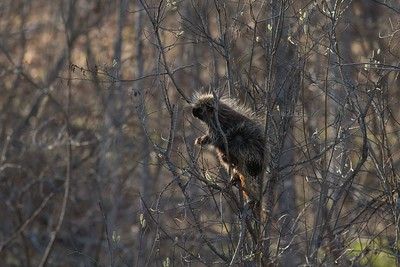 In spring, Porcupines dine on willow catkins before the leaves come out [May 3; Jay Cooke State Park, Carlton County, Minnesota]