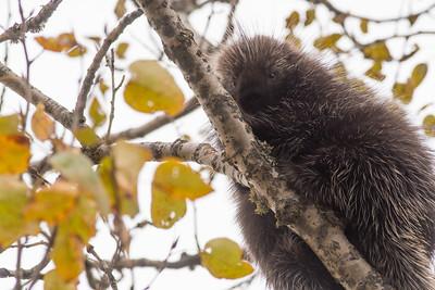 Porcupine in aspen Admiral Road Sax-Zim Bog MN DSC03179