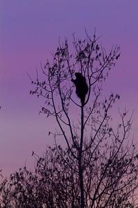Porcupine silhouette Stone Lake Road Sax-Zim Bog MN IMG_7565