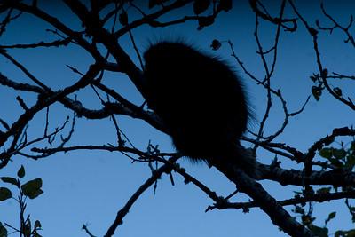 Porcupine in aspen Admiral Road Sax-Zim Bog MN DSC03183