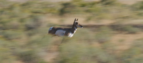 Pronghorns have been clocked at speeds of 60 mph or more! [September; Yellowstone National Park, Wyoming]
