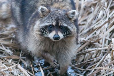 Raccoon along Hwy 210 Aitkin County MN DSC03613