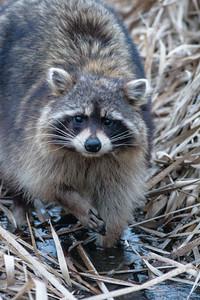 Raccoon along Hwy 210 Aitkin County MN DSC03618
