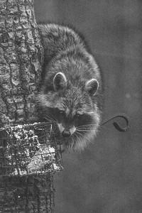 Raccoon Skogstjarna Carlton County MN DSC07313