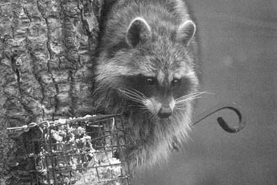 Raccoon Skogstjarna Carlton County MN DSC07315