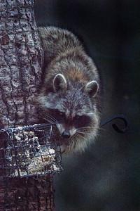 Raccoon Skogstjarna Carlton County MN DSC07314