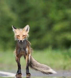 June is a busy time for northern Red Foxes; with kits away from the den but not yet independent, mom and dad must hunt overtime...including daylight hours [June; near Poplar Lake, Gunflint Trail, Superior National Forest, Cook County, Minnesota]