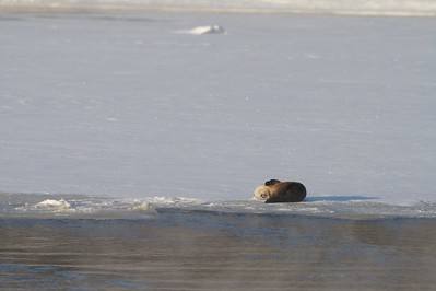 Play is often attributed to the actions of River Otters. And once you've observed them in the wild, you'd agree [February; St. Louis River, Fond du Lac, Minnesota]