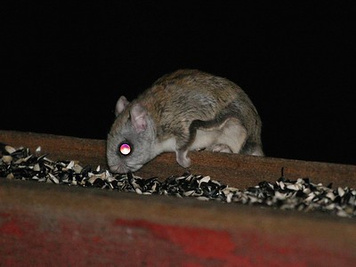 Northern Flying Squirrels may be the most common squirrel in the North Woods; But we don't see them as they are strictly nocturnal [March; Skogstjarna, Carlton County, Minnesota]