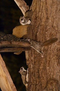 Flying Squirrels at Larry and Fran Weber's feeders [Carlton County, Minnesota]