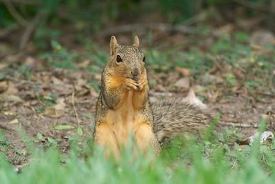 Fox Squirrel Krenmueller Farms Grandma Trudy's Ranch Lower Rio Grande Valley TX IMG_0074