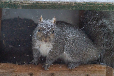 Gray Squirrel in feeder Skogstjarna Carlton County MNIMG_1398