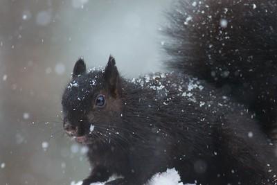 Gray Squirrel black morph Skogstjarna Carlton Co MN IMG_6026