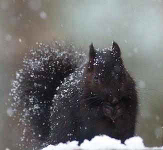 Gray Squirrel black morph Skogstjarna Carlton Co MN IMG_6023