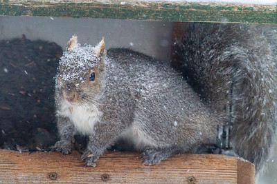 Gray Squirrel in feeder Skogstjarna Carlton County MNIMG_1412