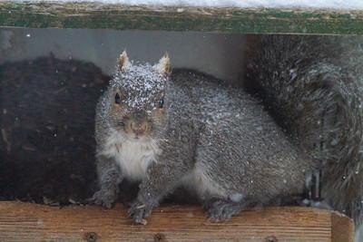 Gray Squirrel in feeder Skogstjarna Carlton County MNIMG_1400