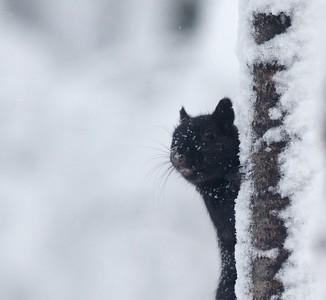 Gray Squirrel black morph Skogstjarna Carlton Co MN IMG_7082