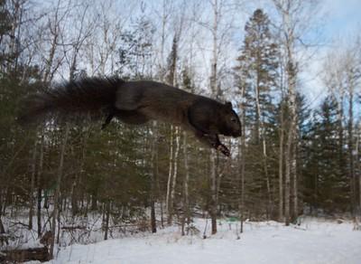 Gray Squirrel Black Morph Skogstjarna Carlton Co MN IMG_0072555
