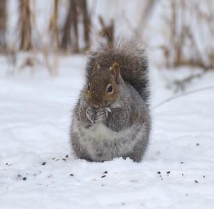 Gray Squirrel Skogstjarna Carlton Co MN IMG_2525