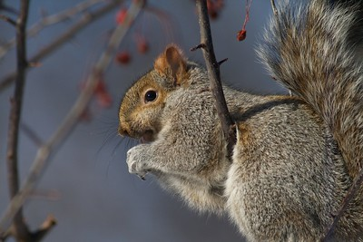 Gray Squirrel IMG_005365