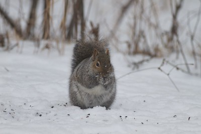 Gray Squirrel Skogstjarna Carlton Co MN IMG_2519