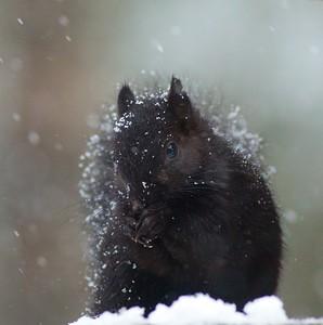 Gray Squirrel black morph Skogstjarna Carlton Co MN IMG_6021