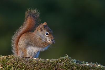 Red Squirrel Skogstjarna Carlton Co MN IMG_9868