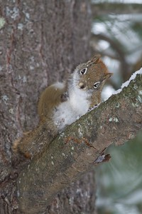 Red Squirrel with an itch [December; Jay Cooke State Park, Carlton County, Minnesota]