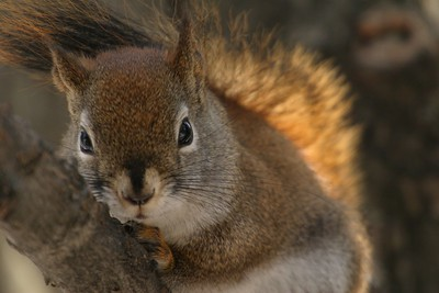 Red Squirrels are most at home (and safest) in the trees [March; Skogstjarna, Carlton County, Minnesota]