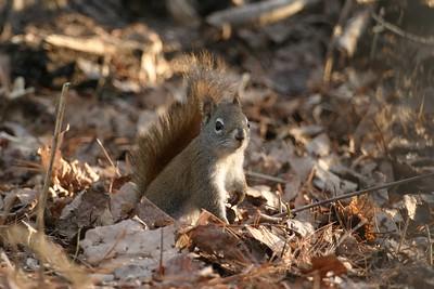 Red Squirrel Skogstjarna Carlton Co MN 127_2749