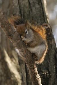 Red Squirrels are most at home (and safest) in the trees [March; Skogstjarna, Carlton County, Minnesota]Red Squirrels are most at home (and safest) in the trees [March; Skogstjarna, Carlton County, Minnesota]