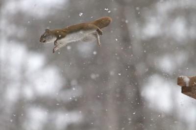 Red Squirrel leaping feeders Skogstjarna Carlton County MN IMG_0071326