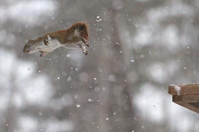 Red Squirrel leaping feeders Skogstjarna Carlton County MN IMG_0071331